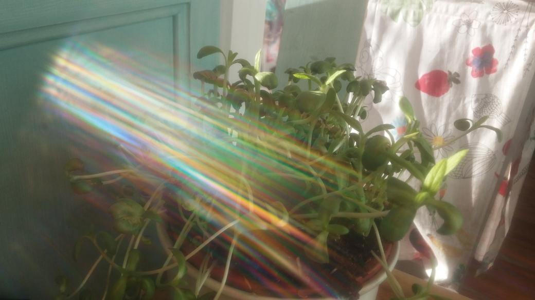 Sonnenblumensprossen